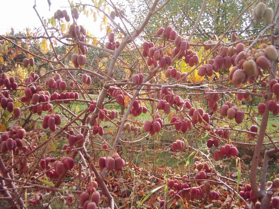 Актинидия выращивание и уход в сибири 57