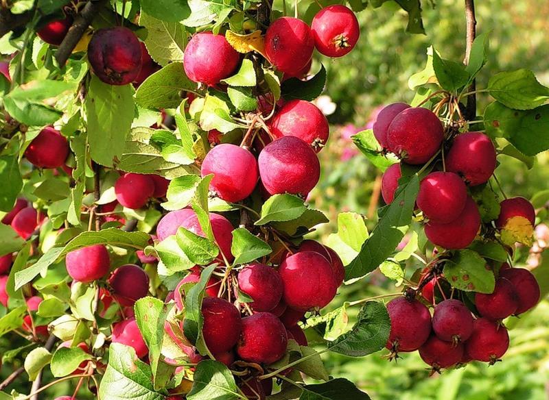 яблоня ранетка пурпуровая
